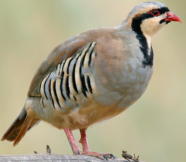 The chukar partridge alectoris chukar is a gallinaceous gamebird
